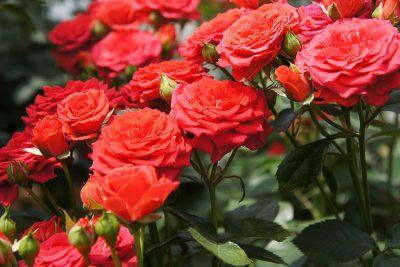 Controla las plagas de los rosales